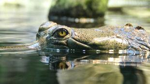 Bliźniaczki pływały w lagunie, jedną zaatakował krokodyl. Teraz dziewczyna walczy o życie