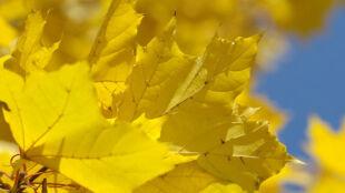 Dlaczego liście jesienią zmieniają kolor?