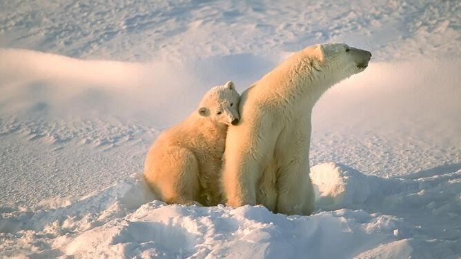 Niedźwiedzie polarne zagrożone